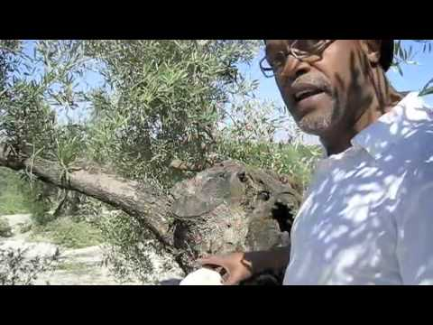 Information About Olive Tree Pruning Music Videos