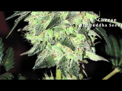 Top 10 Strains of 2012 -- December Issue Preview