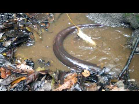 feeding electric eels near Tahuayo Lodge in the Amazon Jungle Music Videos