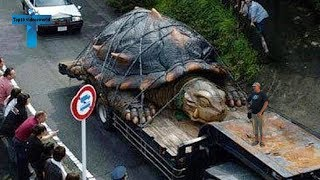 Top 10 World's Most Incredible Turtles   10 Biggest Turtle