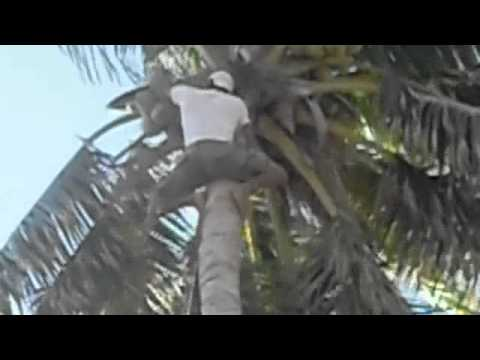 Fiji Coconut Tree Climbing