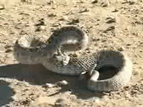 rattlesnake haven Video