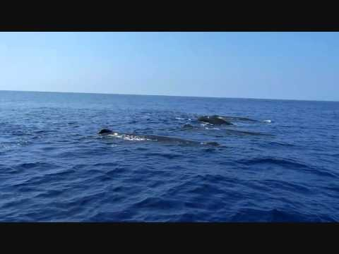 Whale Watching off Mirissa Coast, Sri Lanka - Sperm Whales