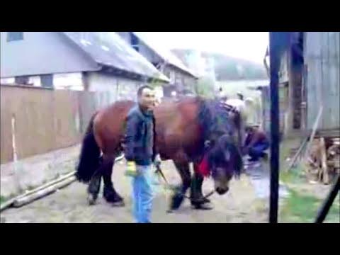 Horse breeding - Arabian draft horse mating