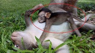 Why Baby Monkey Sleep On Mum? ST339