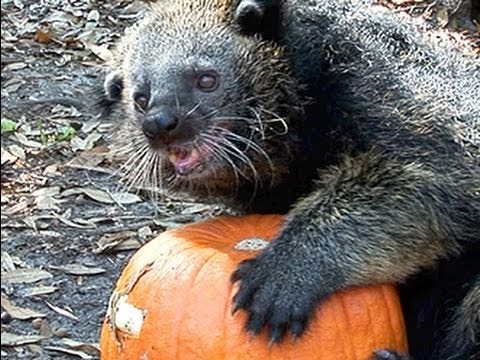 "Binturong / ""Bearcat"" VS PUMPKIN !!"