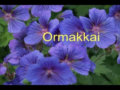 Ormakkai video