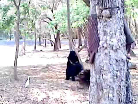Bear Sex  Mysore Zoo , India video
