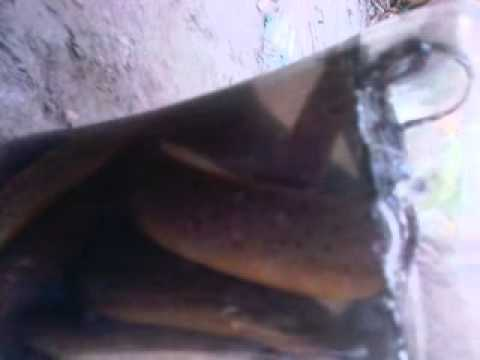 Assam Boro video