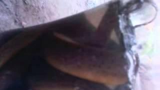 Assam boro