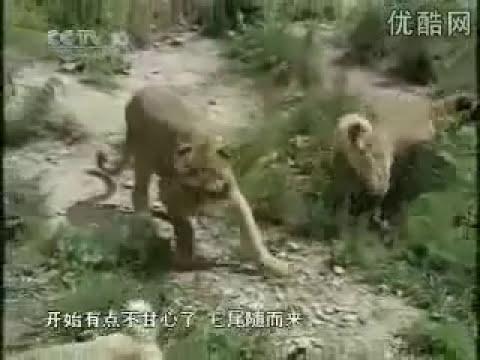 Kangal vs Kaplan