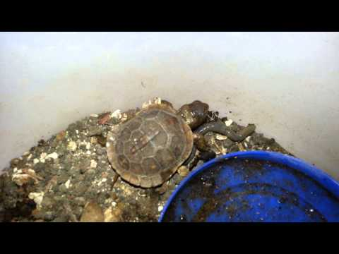 Baby Box Turtle with Worm