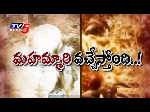 Caution to Chicken Lovers | Bird Flu Returns | Killed 15,000 Ducks : TV5 News