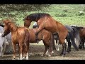 Horse Breeding Process