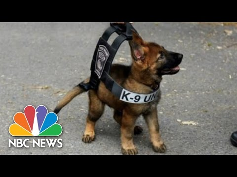 Adorable Puppy Wears Boston Police K-9 Vest | 3rd Block | NBC News