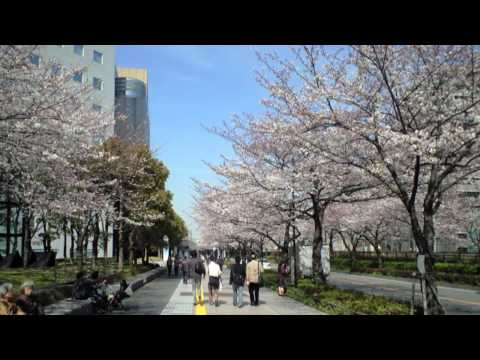 sawacon さいわいの桜