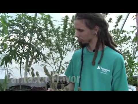 Natural Cannabis Production: Growing Medical Marijuana with Aquaponics