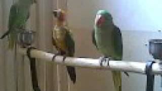 Talking Parrot Indian Ringneck, Alexandrine,& Sun Conure on the stand