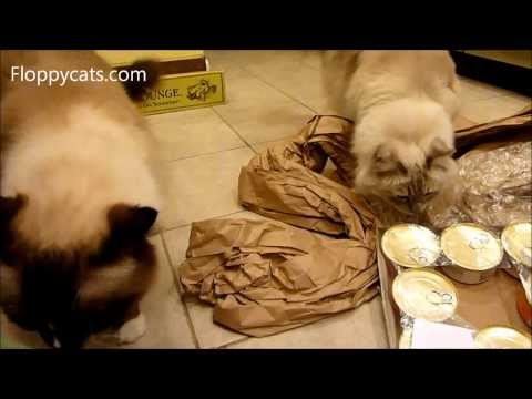 Ragdoll Cats Receive Fromm Chicken & Salmon Pate Canned Cat Food  - ねこ - ラグドール - Floppycats