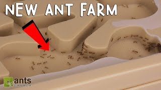 My Fire Ants' New Ant Farm