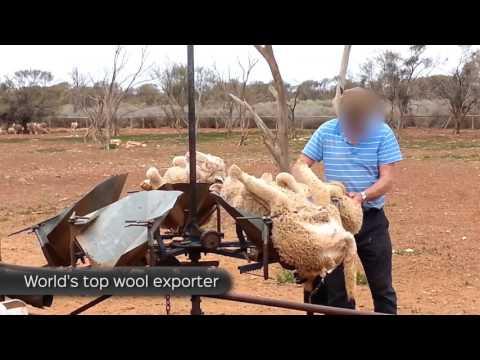 Think Sheep Shearing Isn't Cruel?