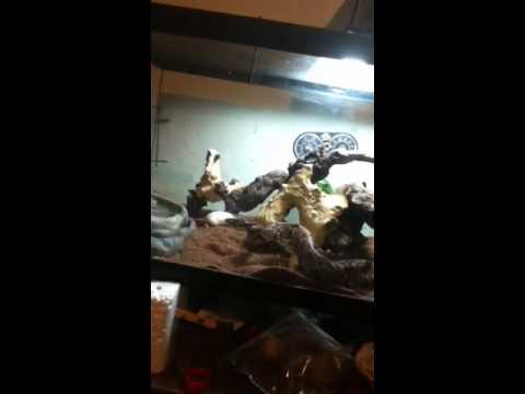 Snake eats a mouse.