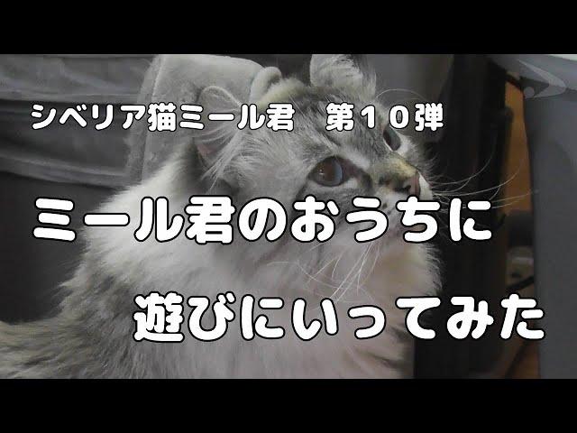 画像 2021年2月19日公開 シベリア猫ミール君第10弾の動画のサムネイル YouTubeへ移動します