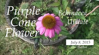 "Putting the ""Cone"" in Purple Cone Flower Bloom"