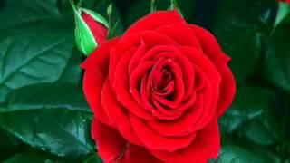 Sant Jordi - La Rosa