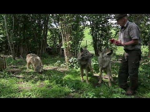 In Bielorussia l'uomo fa pace coi lupi…