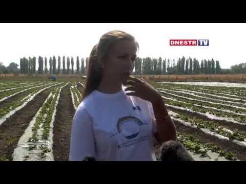Молодая предпринимательница из Григориополя развивает клубничный бизнес