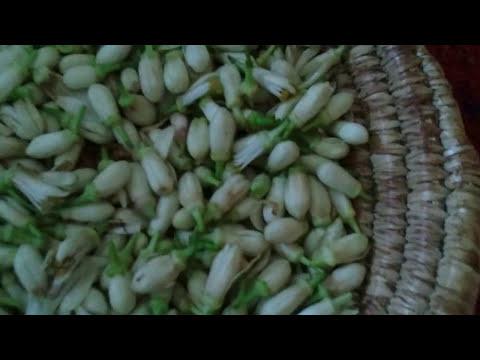 تقطير زهر الليمون Distillation lemon blossom thumbnail