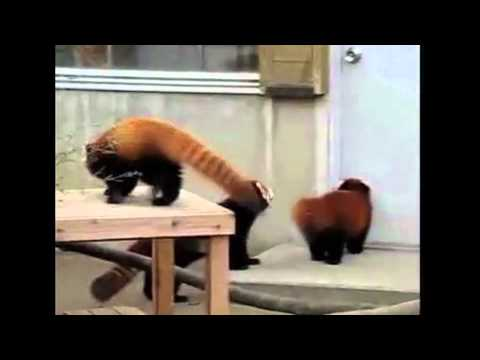 Song A Day #770: The Red Panda Hop