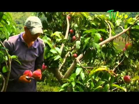 Como cultivar Mango Por TvAgro - Juan gonzalo Angel TvAgro