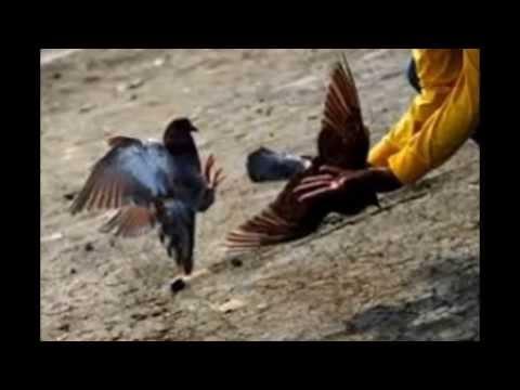 Burung Merpati Balap Leonard   Burung Dara Balap