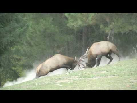 King of the Harem--Bull Elk Fight for Dominance