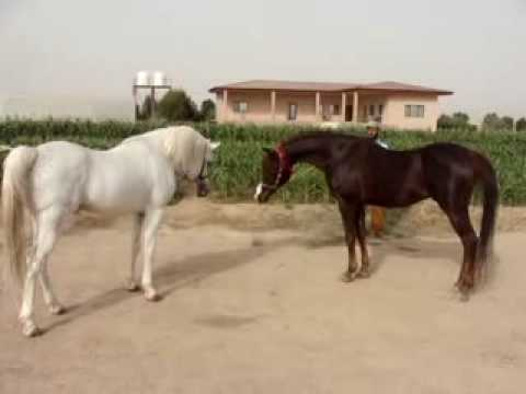 2 Male  Horses Fighting - Aljeyad Center