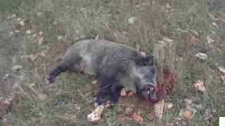 The best boar hunting