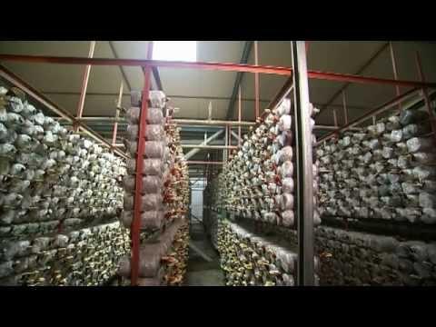 SHB English Ganoderma Factory & Green Farm