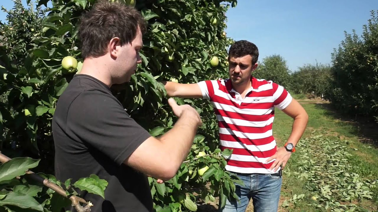 uprawa jabłek, insektycydy, program ochrony jabłek, program ochrony, szkodniki, owoców jabłówekcza