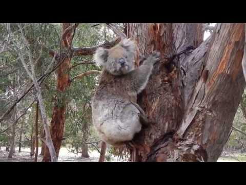 Koala Running on Kangaroo Island