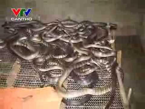 Nhanonglamgiau.com - Kỹ thuật nuôi rắn ráo trâu