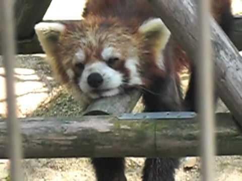 昼下がりのレッサーパンダ