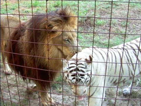 Lion + White Tiger = Cameron & Zabu! video
