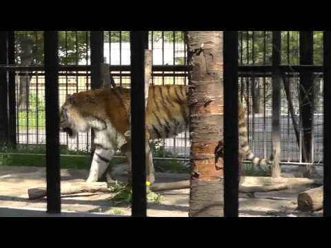2011年5月26日 おびひろ動物園 アムールトラのタツオ3