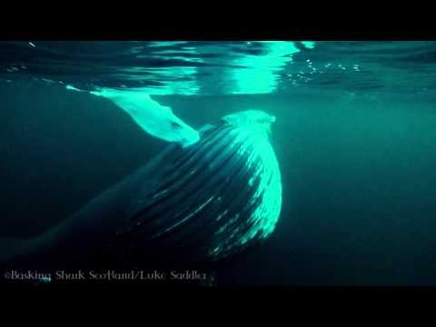 Humpback Whale Feeding, Norway 2016 Trip