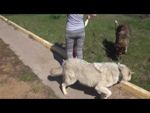 волк и кавказец