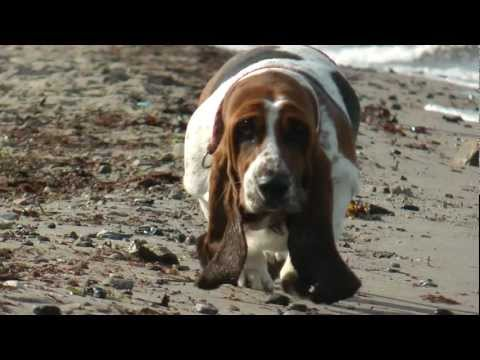 Basset Hound Hannah und Old English Bulldog Heini am Hundestrand
