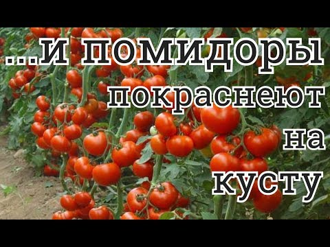 Как ускорить созревание помидоров – способы и мои отзывы о них