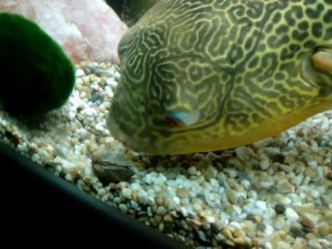 Pablo the puffer fish